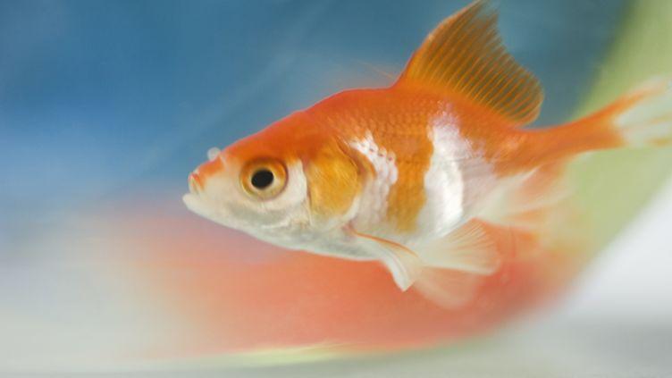 Un poisson rouge a été sauvé par un pompier à Trèbes, dans l'Aude. (MICHÈLE CONSTANTINI  / MAXPPP)
