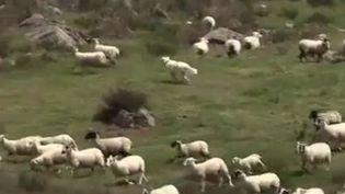 Des loups présents en Franche-Comté contre les moutons, 11 juin 2012 ( FRANCE 3)