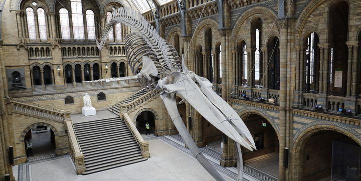 Vue de face du squelette de Hope, une baleine bleueexposée au Musée d'histoire naturelle de Londres  (Tolga AKMEN / AFP)