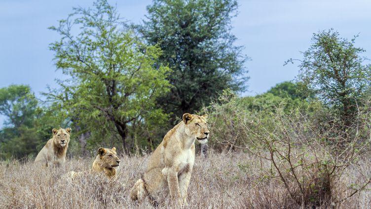 Des lionnes dans le parc national Krüger, en Afrique du Sud, le 30 novembre 2014. (PATRICE CORREIA / BIOSPHOTO / AFP)