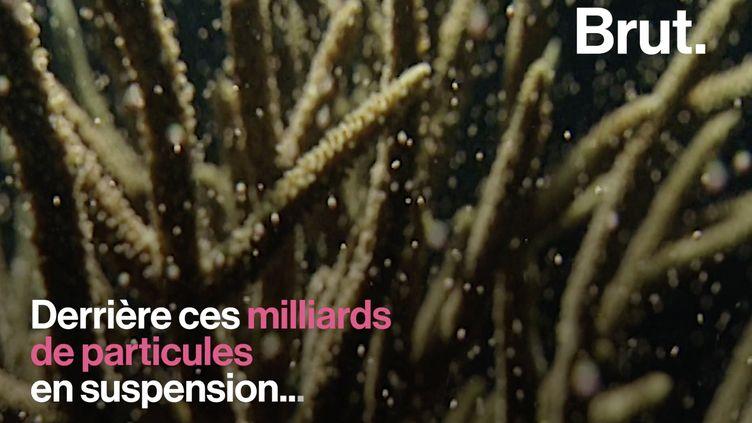 VIDEO. Grande Barrière de corail : une première nuit de ponte particulièrement prolifique (BRUT)