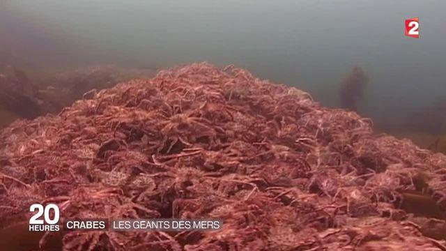 Les crabes géants de Norvège pullulent dans les eaux du nord de l'Europe