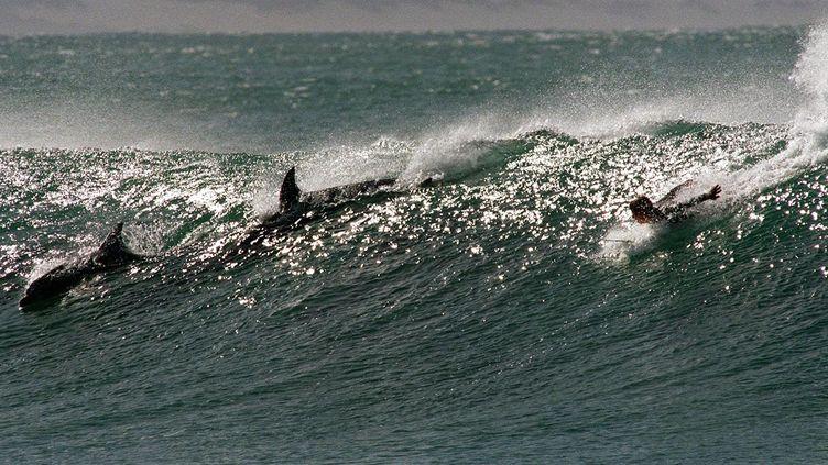 Pas de requin, mais deux dauphins et un surfeur à Jeffrey's Bay, en Afrique du Sud. C'est là qu'un apnéiste a été tué par un requin, le 11 octobre 2013. (ANNA ZIEMINSKI / AFP)