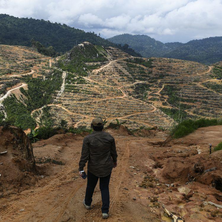 Une plantation de durian, une culture jugée responsable de vagues de déforestation massive, à Raub, en Malaisie, le 19 décembre 2018. (MOHD RASFAN / AFP)