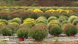 Horticulture : les chrysanthèmes reviennent sur le devant de la scène (France 3)