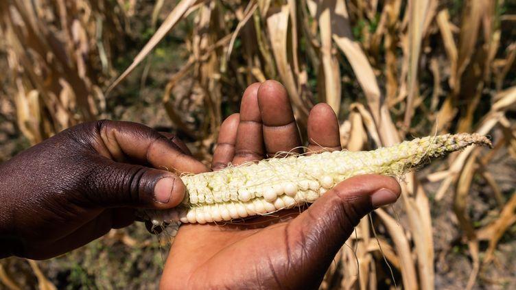 La sécheresse s'installe année après année dans toutes les zones agricoles du Zimbabwe, comme dans ce champ de maïs près de Mutoko (Est), photographié en mars 2019. (JEKESAI NJIKIZANA / AFP)