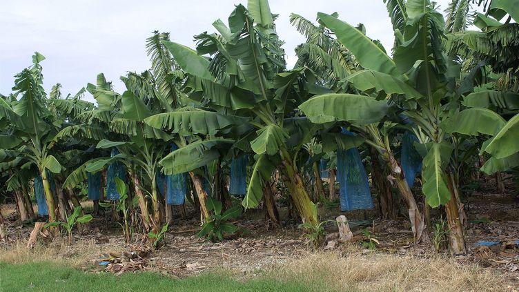 Une bananeraie en Guadeloupe. (CHRISTIAN WATIER / MAXPPP)
