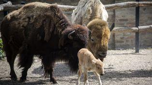 Une bisonne blancheest née au zoo de Belgrade (Serbie) le 28 mai 2018. (VLADIMIR ZIVOJINOVIC / AFP)