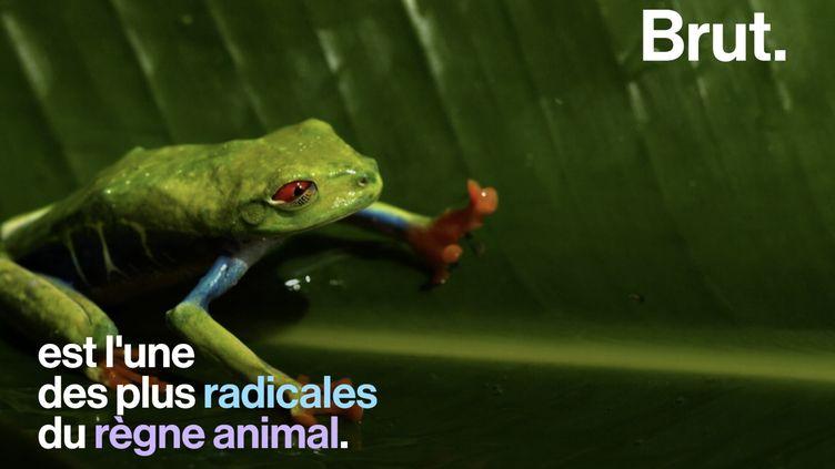 VIDEO. Comment le têtard se transforme-t-il en grenouille ? (BRUT)