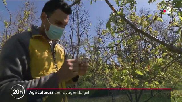 Drôme : des abricotiers et des vignes détruits par le gel