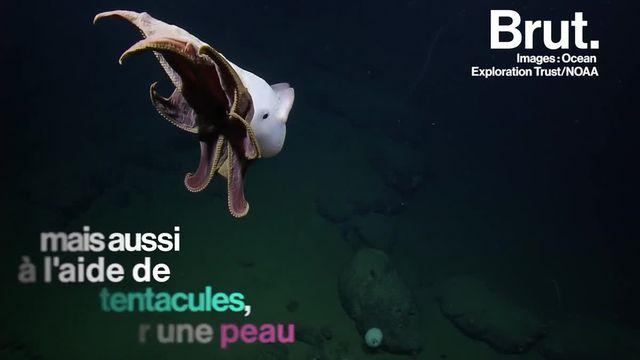 """Un grimpoteuthis, autrement appelé """"pieuvre dumbo"""", a été observé dans les abysses du Pacifique."""
