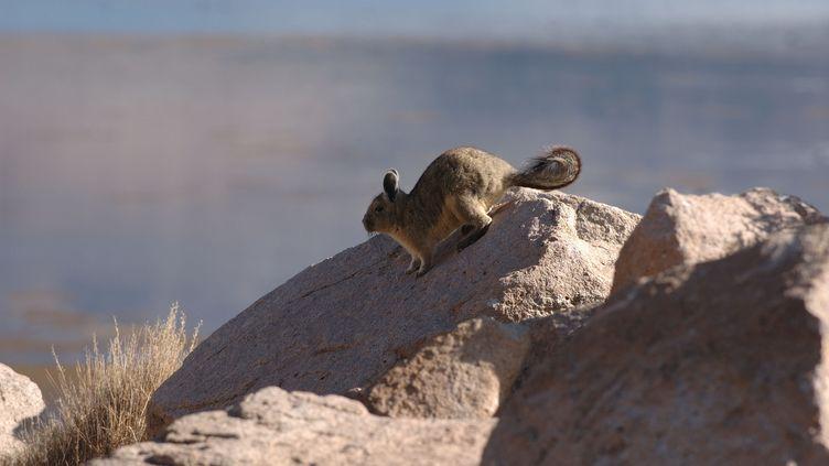 Un chinchilla sur une pierre au Chili. (ALAIN PONS / BIOSPHOTO)