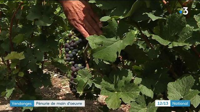 Vendanges : pénurie de main d'oeuvre pour les viticulteurs