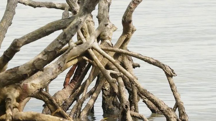 La pollution à Mayotte menace tout un environnement, en particulier la mangrove qui souffre aussi de l'urbanisation. (FRANCE 2)