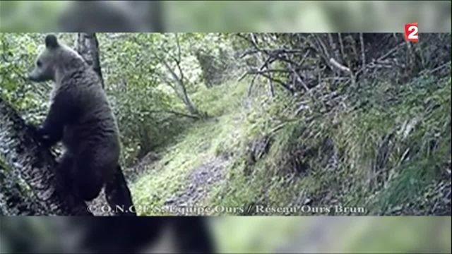 Pyrénées : les ours scrutés à la loupe avec l'arrivée du printemps