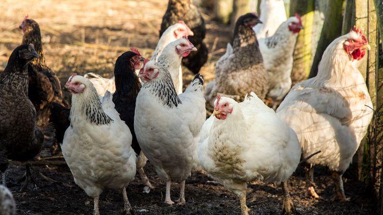 Des volailles près de Loon-Plage (Nord), le 6 décembre 2016, loin des départements du Sud-Ouest concernés par l'épizootie de grippe aviaire. (PHILIPPE HUGUEN / AFP)