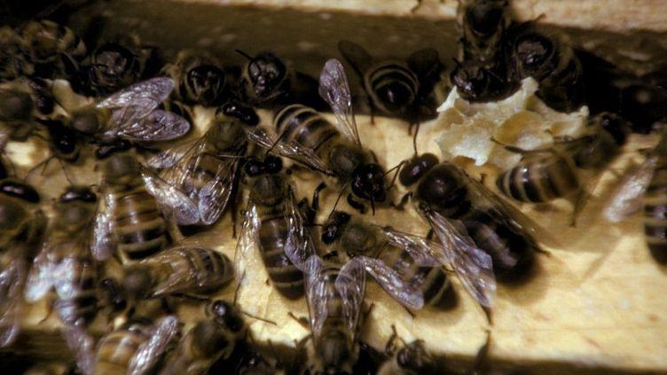"""La mite """"Varroa"""" se nourrit du sang des abeilles au stade larvaire ou adulte perce leur peau et déforme leurs ailes. (JOHN T. FOWLER / TIPS / AFP)"""