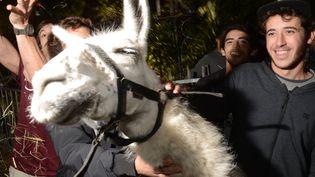 Serge le lama, le 7 novembre 2013 à Bordeaux (Gironde), pose avec ses kidnappeurs d'un soir. (MEHDI FEDOUACH / AFP)