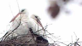 Pour la douzième année consécutive, deux cigognes se sont retrouvées. Le mâle est revenu d'Afrique australe pour retrouver sa bien-aimée qu'un handicap empêche de voler et retient àBrodski Varos en Croatie. ( FRANCE 2 / FRANCETV INFO)