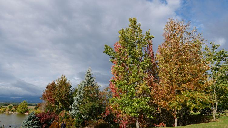 À l'automne, les feuillages flamboient : copalmes d'Amérique (Liquidambar rotundifoliaet L. 'Andrew Hanson'). Contraste garanti avec le sapin bleu du Colorado (Picea pungens). (ISABELLE MORAND / RADIO FRANCE / FRANCE INFO)