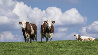 Des vaches laitières, race Montbéliarde. (Photo d'illustration) (CHRISTIAN WATIER / MAXPPP)