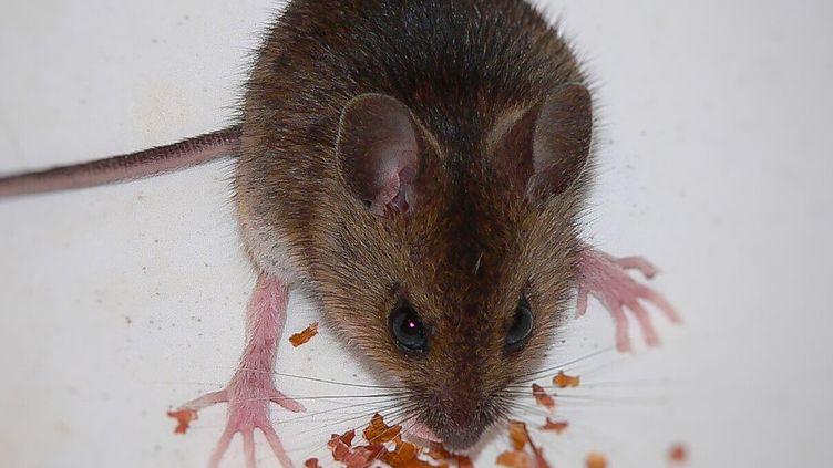 Des chercheurs américains ont transformé des souris en prédateurs féroces en stimulant une zone de leur cerveau, décrit la revue américaineCell, jeudi 12 janvier 2017.   (MICHAEL HARDY / EYEEM / GETTY IMAGES)