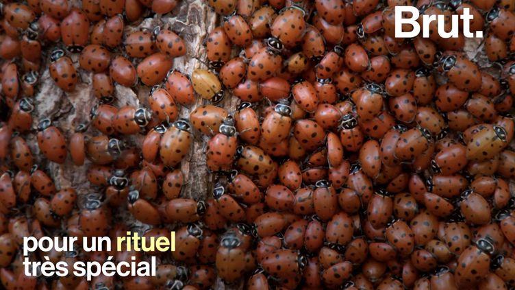 VIDEO. La reproduction des coccinelles convergentes, un rituel très spécial (BRUT)