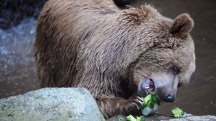 Un ours brun, le 23 juillet 2013, au zoo de La Flèche (Sarthe). (JEAN-FRANCOIS MONIER / AFP)