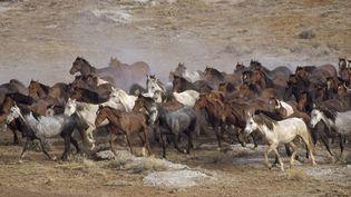 Des mustang dans le centre du Wyoming - Août 2014 (YVA MOMATIUK & JOHN EASTCOTT / MINDEN PICTURES / AFP)
