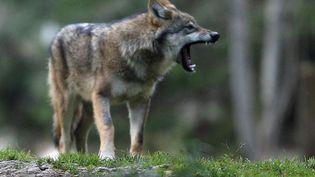 Un loup dans le Mercantour (Alpes-Maritimes), le 17 octobre 2006. (VALERY HACHE / AFP)