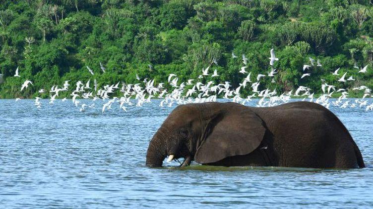 Le parc Reine Elisabeth en Ouganda abrite les éléphants rescapés des braconniers qui sévissent en Afrique de l'Est. L'Ouganda est utilisé comme pays de transit pour écouler l'ivoire de contrebande dans la région. (Photo AFP/Antoine Lorgnier)