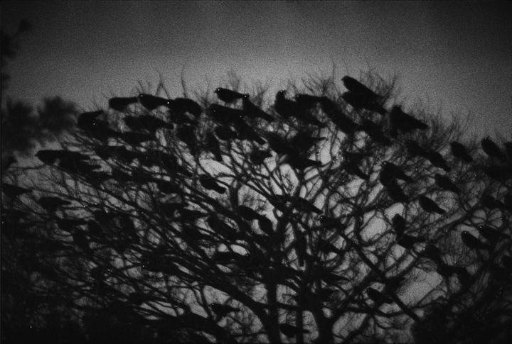 "Masahisa Fukase, ""Ravens"", 1977  (Avec l'aimable autorisation de Masahisa Fukase Archives )"