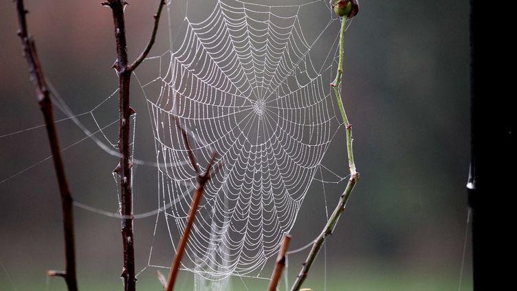 Une toile d'araignée à Arras (Pas-de-Calais), le 23 octobre 2012. Le phénomène des filaments blancs se produit surtout en septembre et octobre, période où la rosée persistante et importante rend particulièrement visibles les fils de soie des araignées. (  MAXPPP)