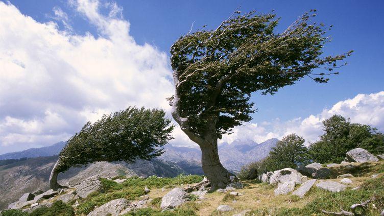 Des arbres déformés par le vent, le 11 février 2008 au Col de Saint-Pierre (Corse). (CHRISTIAN SNCHAL / PHOTONONSTOP / AFP)