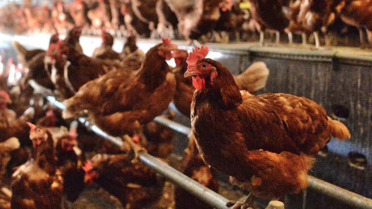 Un élevage de poules pondeuses dans la Loire. (Photo d'illustration) (FREDERIC CHAMBERT / MAXPPP)