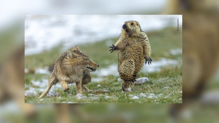 Une marmotte est surprise par une renarde dans la réserve naturelle des monts Qilian (Chine), en 2019. (YONGQING BAO / WILDLIFE PHOTOGRAPHER OF THE YEAR)