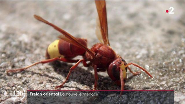 Bouches-du-Rhône : le frelon oriental, une nouvelle menace pour les abeilles