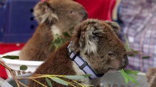 Australie : animaux en péril.En Australie, un hôpital de campagne pour les koalas victimes des feux (ENVOYÉ SPÉCIAL / FRANCE 2)