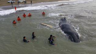 Après 24 heures de travail acharné les sauveteurs ont vu la baleine reprendre le chamin du large àMar del Tuyu (Argentine), le 16 juillet 2016. (HO / TELAM / AFP)