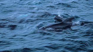 Des dauphins-pilotes au large de la Nouvelle-Zélande, le 18 décembre 2008. (DIDIER BRANDELET / BIOSPHOTO / AFP)