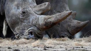 Des rhinocéros du zoo de Thoiry (Yvelines),le 7 mars 2017. (CHRISTIAN HARTMANN / REUTERS)