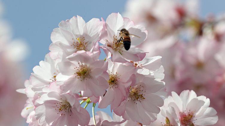 Une abeille butine un arbre en fleurs, à Mulhouse (Haut-Rhin), le 8 avril 2018. (THIERRY GACHON / MAXPPP)