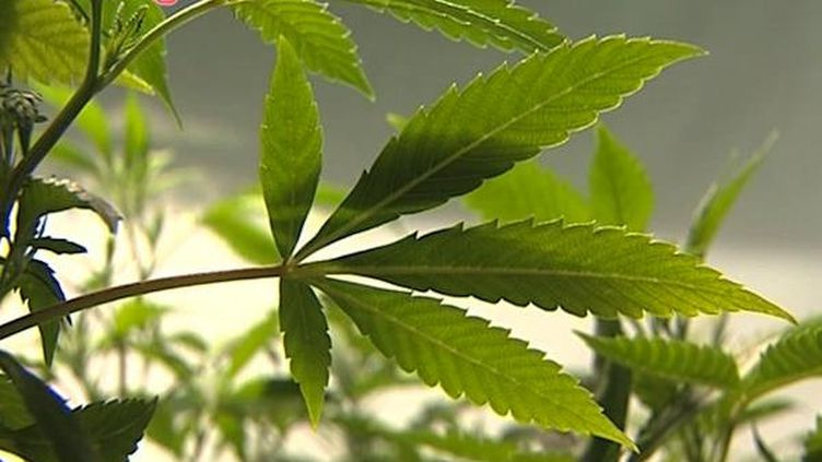 Une étude montre que le cannabis est inefficace contre les troubles mentaux