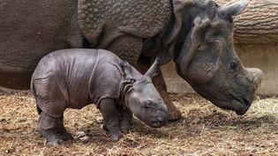 Le bébé rhinocéros restera dans l'espace intérieur de la plaine asiatique pendant une durée variant de 1 à 2 semaines. (ZOO DE BEAUVAL)