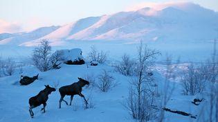 Des élans dans le comté de Norrbotten, en laponie suédoise, en mars 2008. (BERTHIER EMMANUEL / HEMIS.FR / AFP)