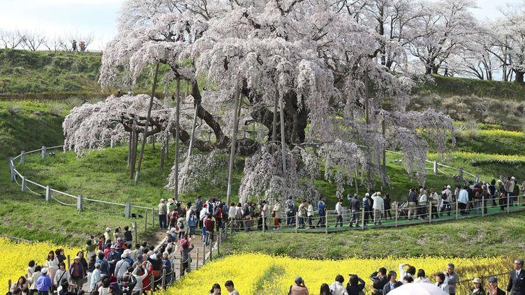 «Takizakura», littéralement «le cerisier fleuri en forme de chute d'eau», est considéré comme un miraculé au Japon où la contemplation des floraisons bat son plein en ce mois d'avril. Après la catastrophenucléaire de Fukushima, le 11 mars 2011, il s'est retrouvé dans une zone de forte contamination. Aujourd'hui, en pleine santé, il symbolise la reconstruction de cette région sinistrée et attire à nouveau des dizaines de milliers de visiteurs, de jour comme de nuit. (Daisuke Tomita/AP/SIPA)