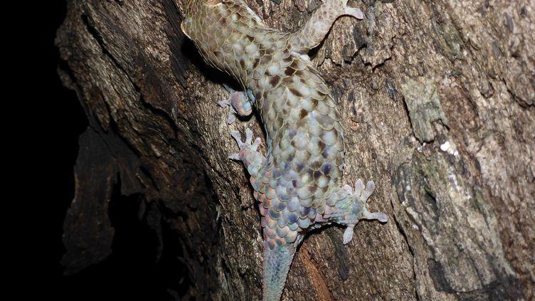 Le Geckolepis megalepis possède une étonnante aptitude : laisser tomber ses écailles et sa peau pour échapper à ses prédateurs, révèle une étude publiée le 8 février 2017. (FRANK GLAW / AFP)