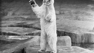 Un ours blanc du zoo de Vincennes, le 18 novembre 1968. (UNIVERSAL PHOTO / SIPA)
