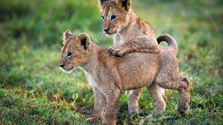 Deux lionceaux âgés d'environdix semaines, dans le Delta Okavango, auBotswana, sont sur le point de suivre leur mère dans l'eau, le 24septembe 2012. Une scène à retrouver dans le documentaire Planète animale 2. (TOM HUGH-JONES)