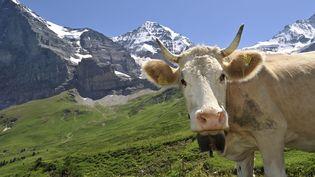 Un vache avec sa cloche au cou dans un pâturage des Alpes près de Berne (Suisse) le 29 juillet 2009. (  MAXPPP)